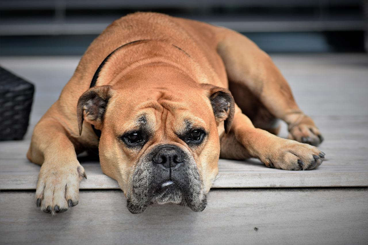 강아지 우울